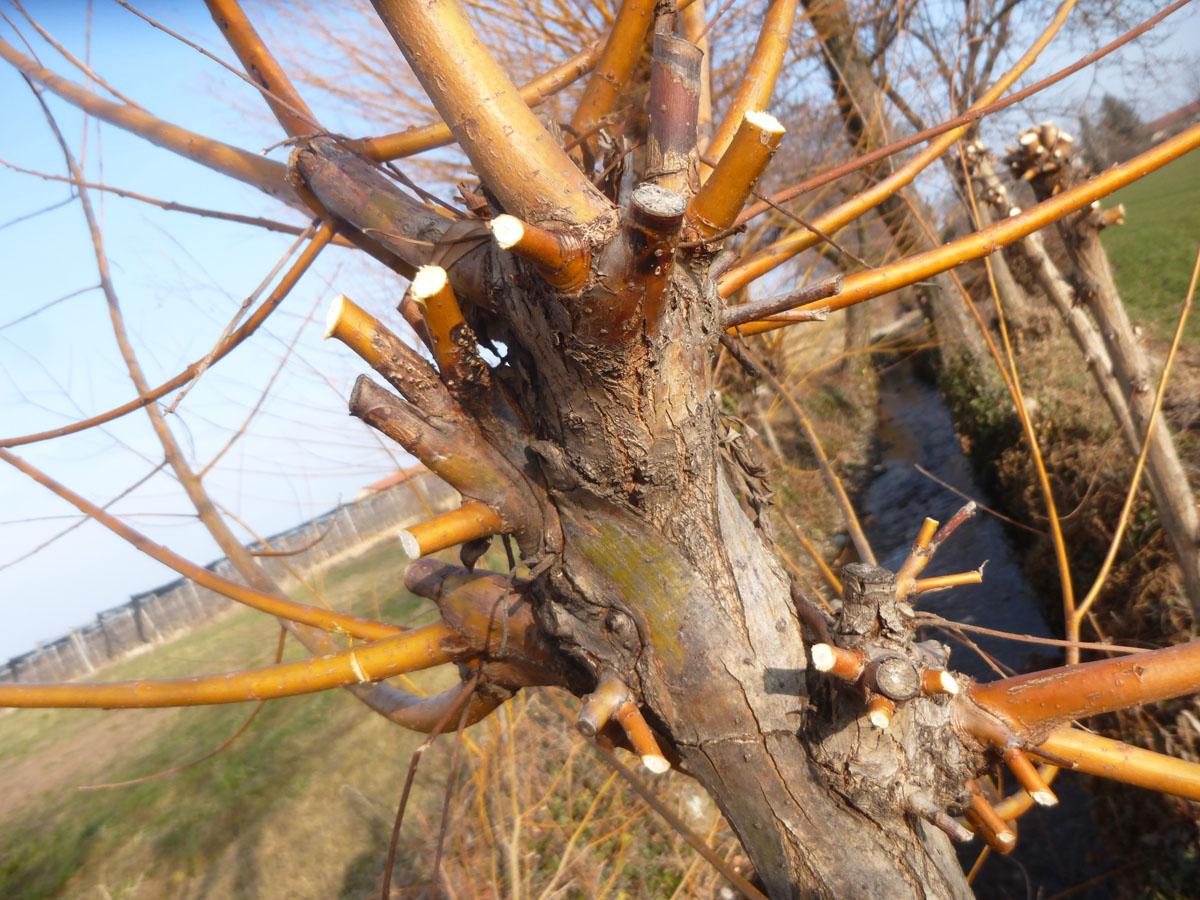 Pianta Tronchetto Della Felicità Potatura la potatura del salice – a nosto modo